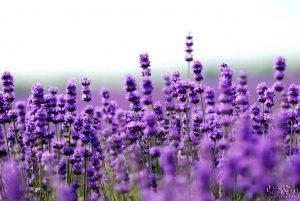 Summer Flower Bouquets - Lavender